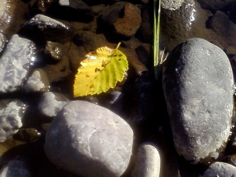 yellow leaf and rocks in river