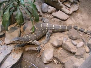 zoo-trip-8-8-09-024 lizard