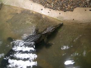 zoo-trip-8-8-09-025 crocodile