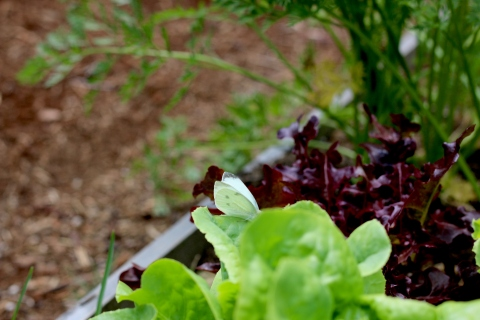 butterfly lettuce
