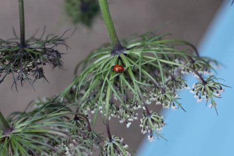 carrot bug